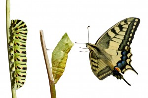 Butterfly metamorphosis